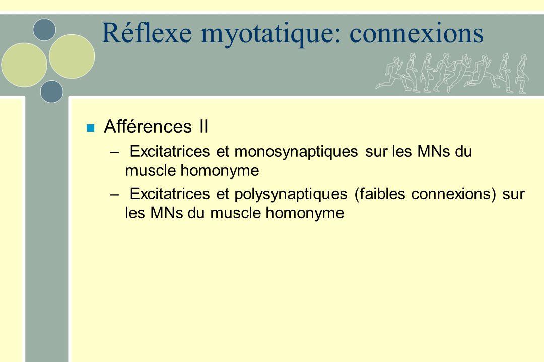 Réflexe myotatique: connexions n Afférences II – Excitatrices et monosynaptiques sur les MNs du muscle homonyme – Excitatrices et polysynaptiques (fai