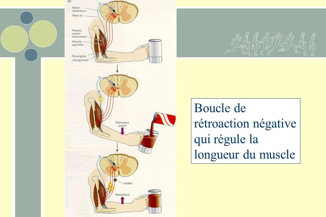 Boucle de rétroaction négative qui régule la longueur du muscle