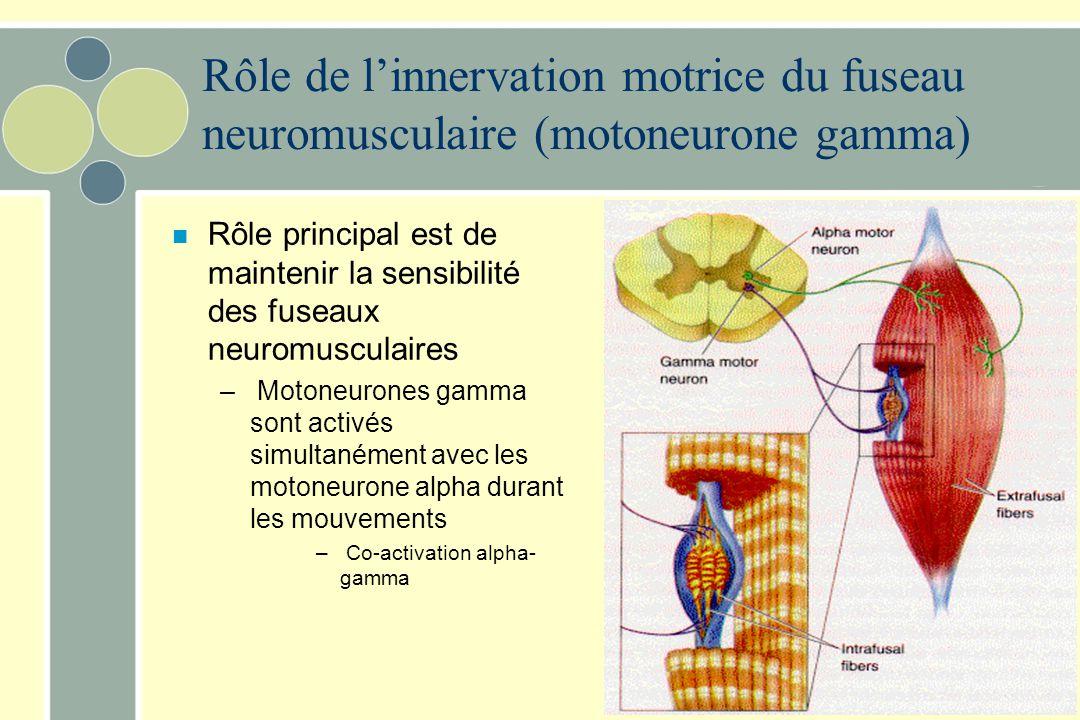 Rôle de linnervation motrice du fuseau neuromusculaire (motoneurone gamma) n Rôle principal est de maintenir la sensibilité des fuseaux neuromusculair