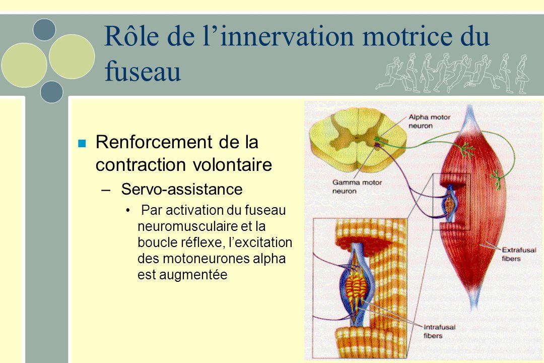 Rôle de linnervation motrice du fuseau n Renforcement de la contraction volontaire – Servo-assistance Par activation du fuseau neuromusculaire et la b
