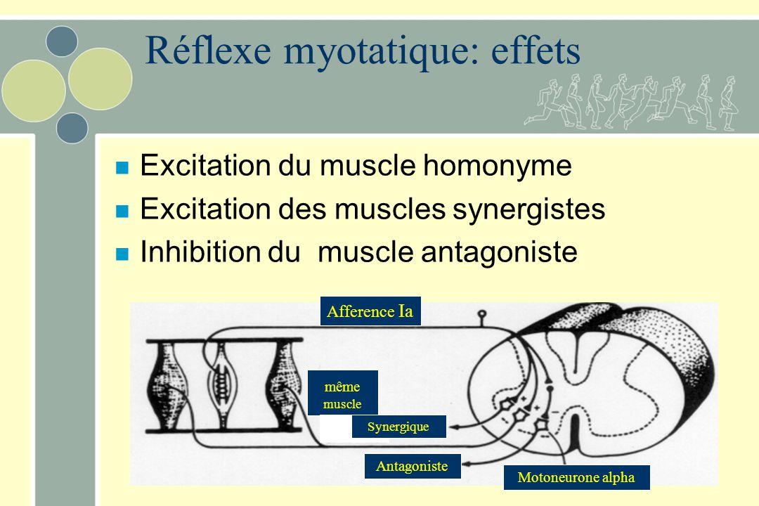 Réflexe myotatique: effets n Excitation du muscle homonyme n Excitation des muscles synergistes n Inhibition du muscle antagoniste Afference Ia même m