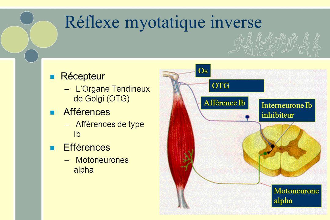 n Récepteur – LOrgane Tendineux de Golgi (OTG) n Afférences – Afférences de type Ib n Efférences – Motoneurones alpha Os OTG Afférence Ib Motoneurone