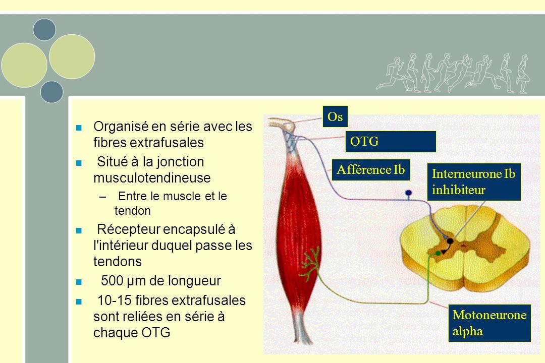 n Organisé en série avec les fibres extrafusales n Situé à la jonction musculotendineuse – Entre le muscle et le tendon n Récepteur encapsulé à l'inté
