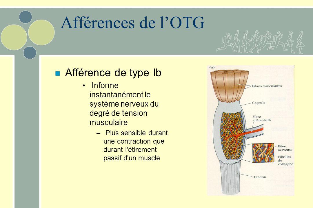 Afférences de lOTG n Afférence de type Ib Informe instantanément le système nerveux du degré de tension musculaire – Plus sensible durant une contract
