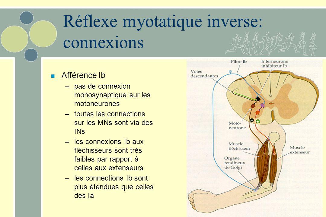 Réflexe myotatique inverse: connexions n Afférence Ib –pas de connexion monosynaptique sur les motoneurones –toutes les connections sur les MNs sont v