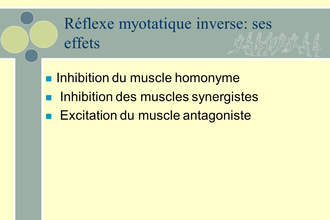 Réflexe myotatique inverse: ses effets n Inhibition du muscle homonyme n Inhibition des muscles synergistes n Excitation du muscle antagoniste