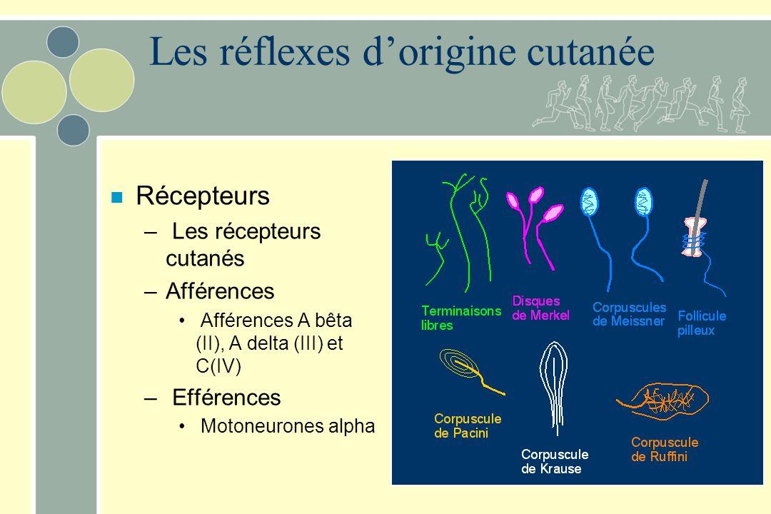 Les réflexes dorigine cutanée n Récepteurs – Les récepteurs cutanés –Afférences Afférences A bêta (II), A delta (III) et C(IV) – Efférences Motoneuron