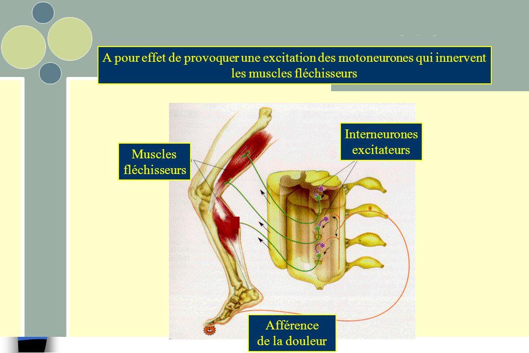 A pour effet de provoquer une excitation des motoneurones qui innervent les muscles fléchisseurs Afférence de la douleur Interneurones excitateurs Mus