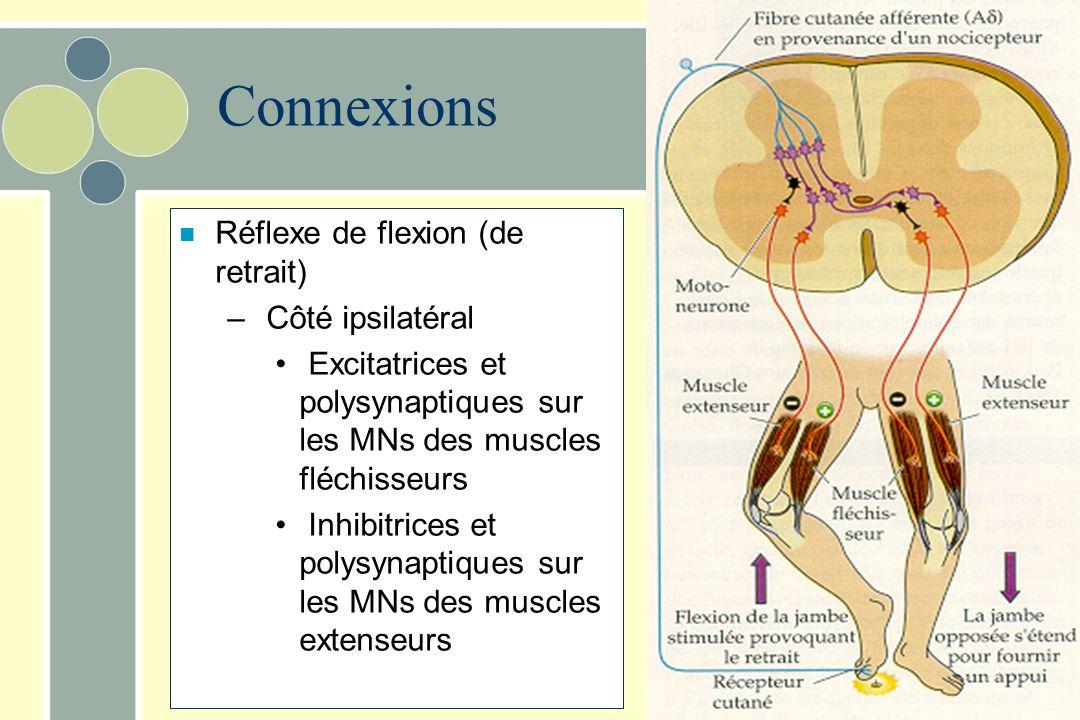 Connexions n Réflexe de flexion (de retrait) – Côté ipsilatéral Excitatrices et polysynaptiques sur les MNs des muscles fléchisseurs Inhibitrices et p