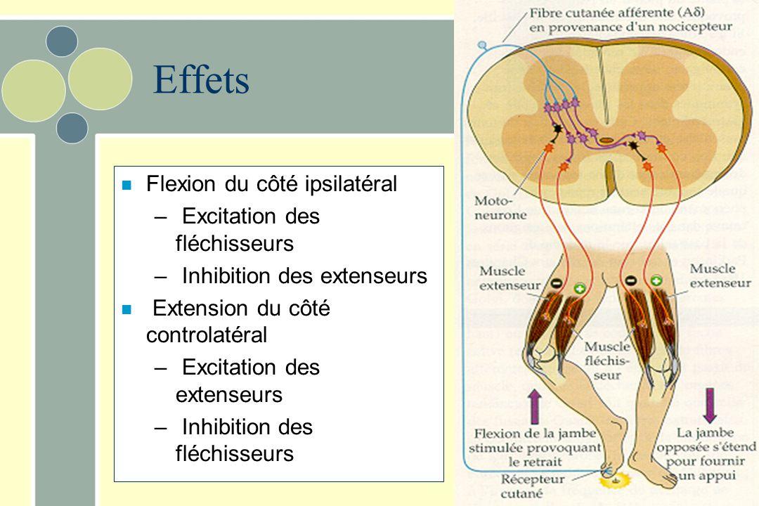 Effets n Flexion du côté ipsilatéral – Excitation des fléchisseurs – Inhibition des extenseurs n Extension du côté controlatéral – Excitation des exte