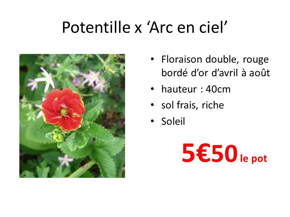 Potentille x Arc en ciel Floraison double, rouge bordé dor davril à août hauteur : 40cm sol frais, riche Soleil 5 50 le pot