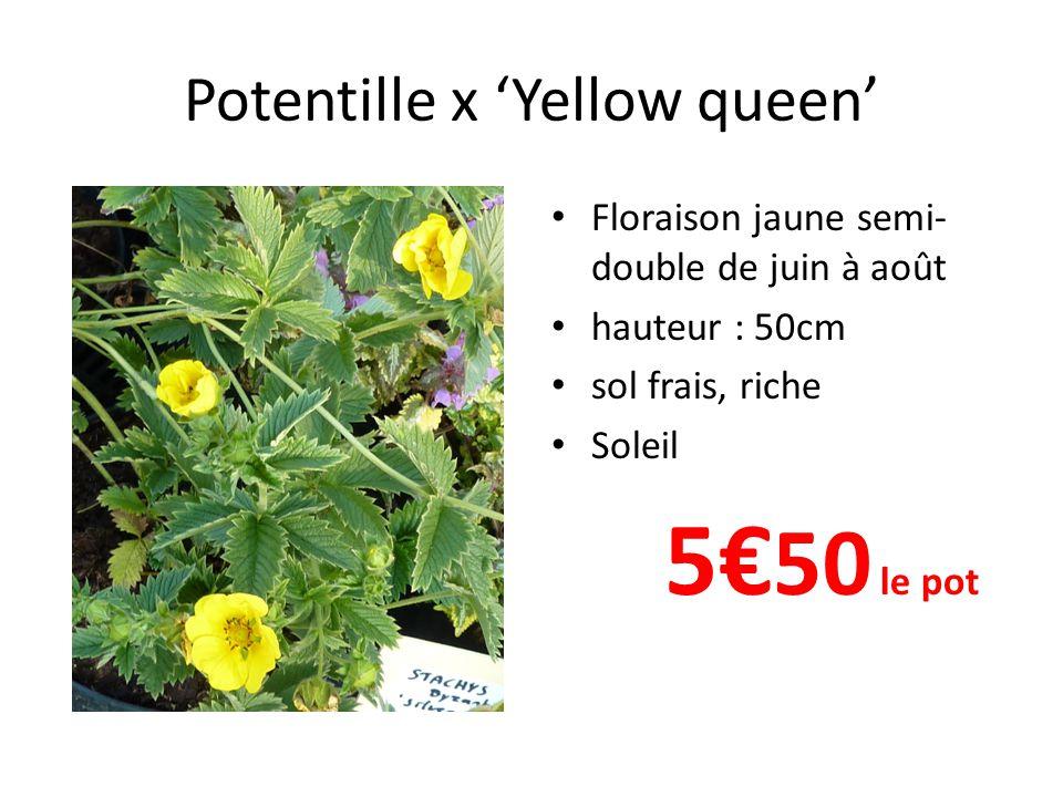Potentille x Yellow queen Floraison jaune semi- double de juin à août hauteur : 50cm sol frais, riche Soleil 5 50 le pot