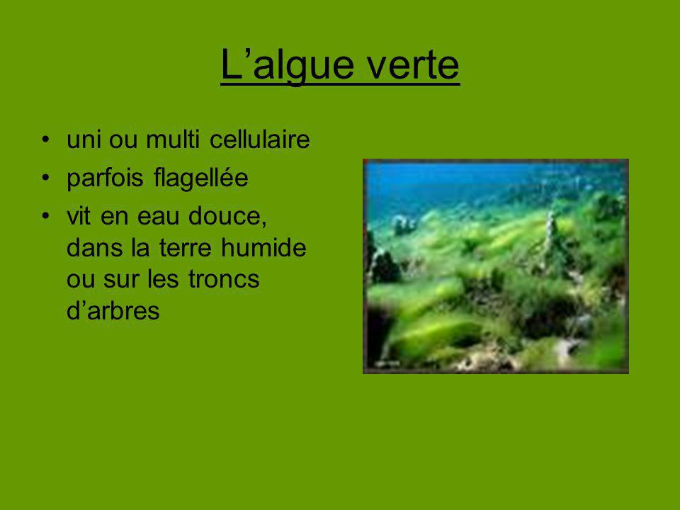 Lalgue verte uni ou multi cellulaire parfois flagellée vit en eau douce, dans la terre humide ou sur les troncs darbres