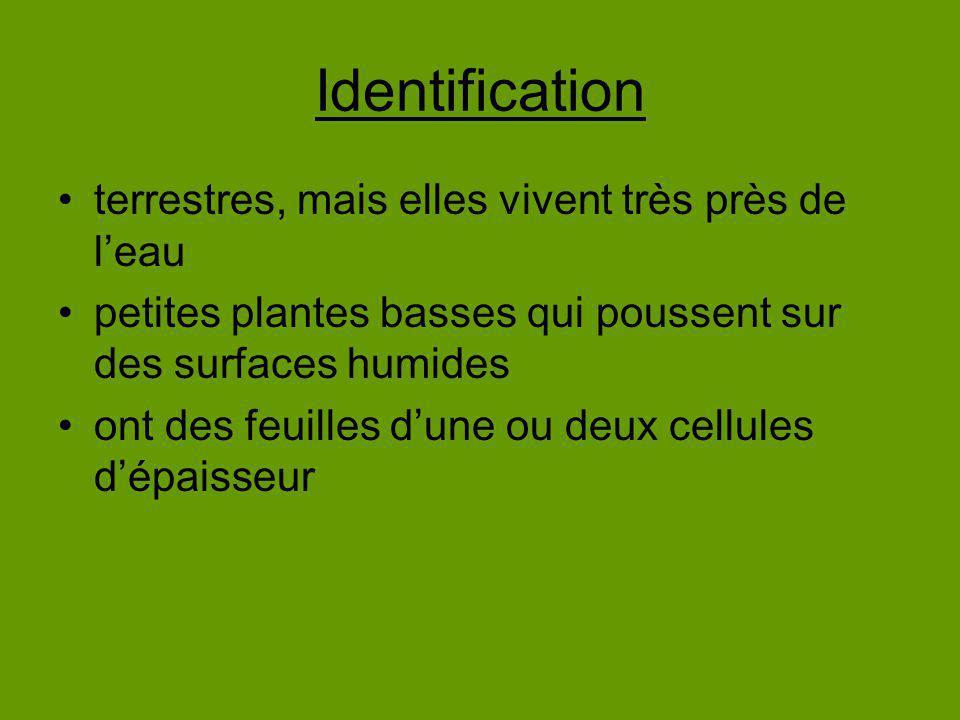 Identification terrestres, mais elles vivent très près de leau petites plantes basses qui poussent sur des surfaces humides ont des feuilles dune ou d