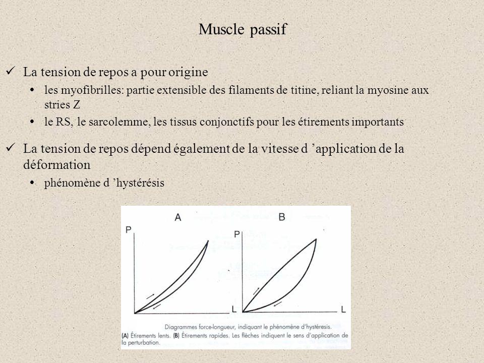 Muscle passif La tension de repos a pour origine les myofibrilles: partie extensible des filaments de titine, reliant la myosine aux stries Z le RS, l