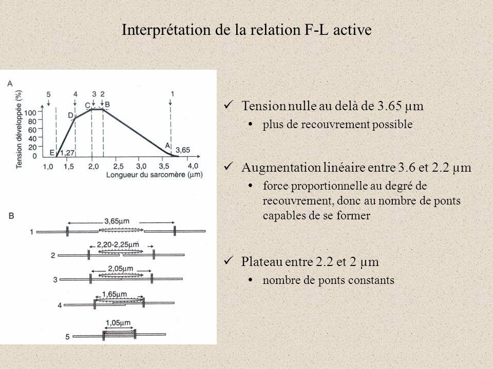 Interprétation de la relation F-L active Tension nulle au delà de 3.65 µm plus de recouvrement possible Augmentation linéaire entre 3.6 et 2.2 µm forc