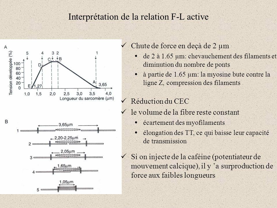 Interprétation de la relation F-L active Chute de force en deçà de 2 µm de 2 à 1.65 µm: chevauchement des filaments et diminution du nombre de ponts à
