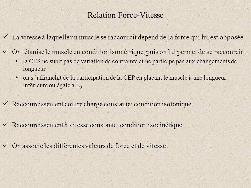 Relation Force-Vitesse La vitesse à laquelle un muscle se raccourcit dépend de la force qui lui est opposée On tétanise le muscle en condition isométr