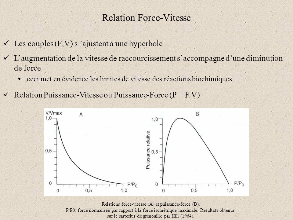 Relation Force-Vitesse Les couples (F,V) s ajustent à une hyperbole Laugmentation de la vitesse de raccourcissement saccompagne dune diminution de for