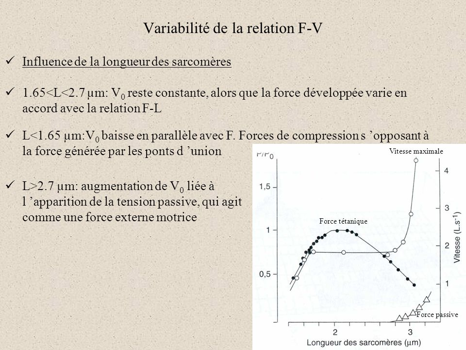 Variabilité de la relation F-V Influence de la longueur des sarcomères Force passive Force tétanique Vitesse maximale 1.65<L<2.7 µm: V 0 reste constan