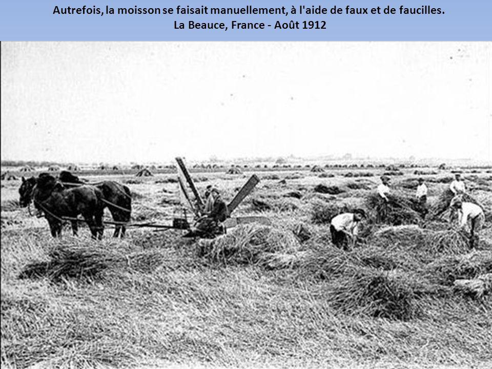 Avant que les batteuses mécaniques existent, le battage du blé pouvait être fait à la main ou à l aide d animaux.