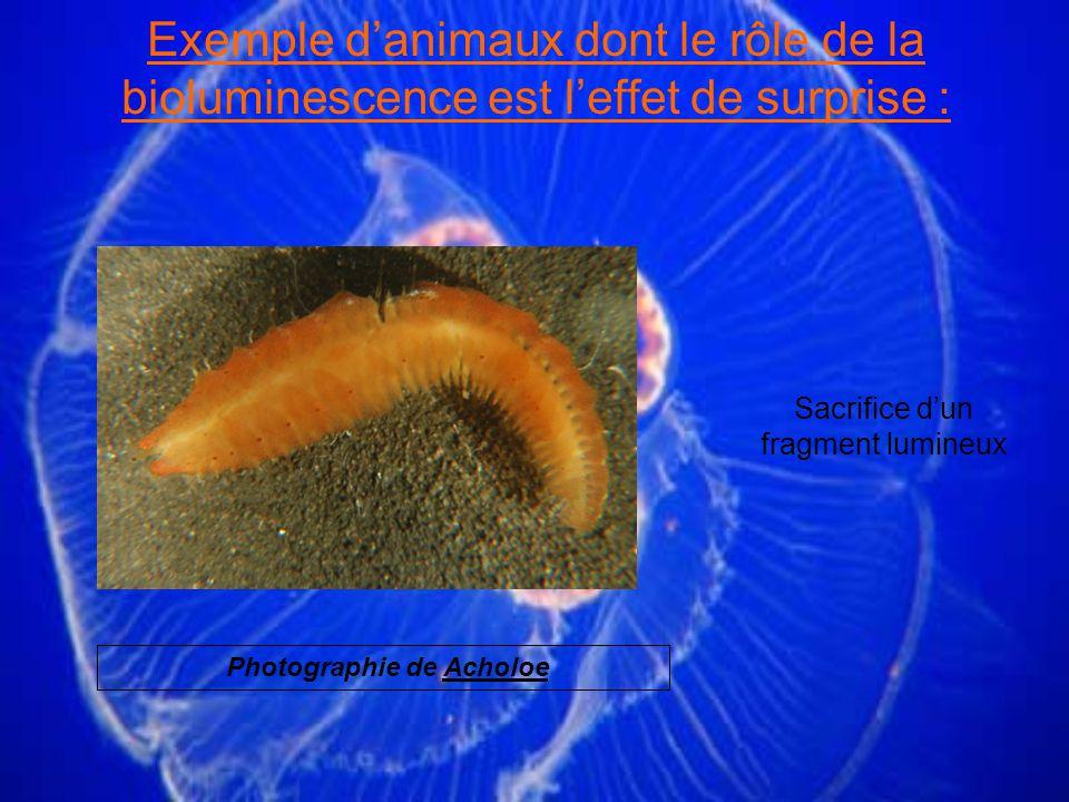 Sacrifice dun fragment lumineux Exemple danimaux dont le rôle de la bioluminescence est leffet de surprise : Photographie de Acholoe