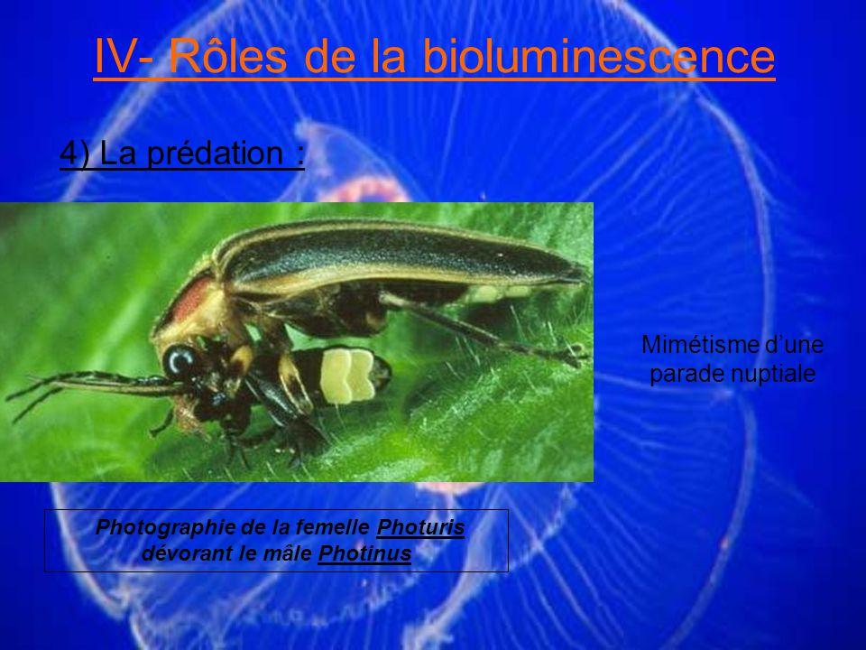 IV- Rôles de la bioluminescence 4) La prédation : Mimétisme dune parade nuptiale Photographie de la femelle Photuris dévorant le mâle Photinus