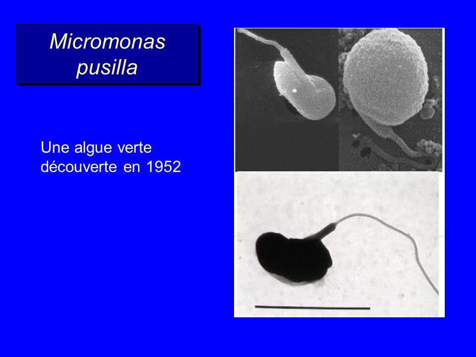 Prochlorococcus Taille : 0,6 x 1,0 µm Lorganisme le plus abondant de la planète Présent de 40 °N à 40 °S Entre 0 et 150 m de profondeur Synechococcus Diamètre : 0,8 x 1,2 µm Le cousin de Prochlorococcus Abondant dans les zones côtières Prochlorococcus - Synechococcus Bactéries (pas de noyau)