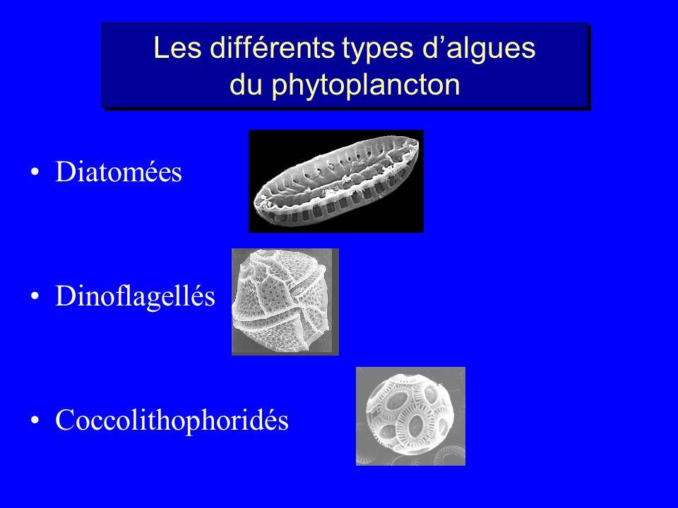 Les différents types dalgues du phytoplancton Dinoflagellés Diatomées Coccolithophoridés