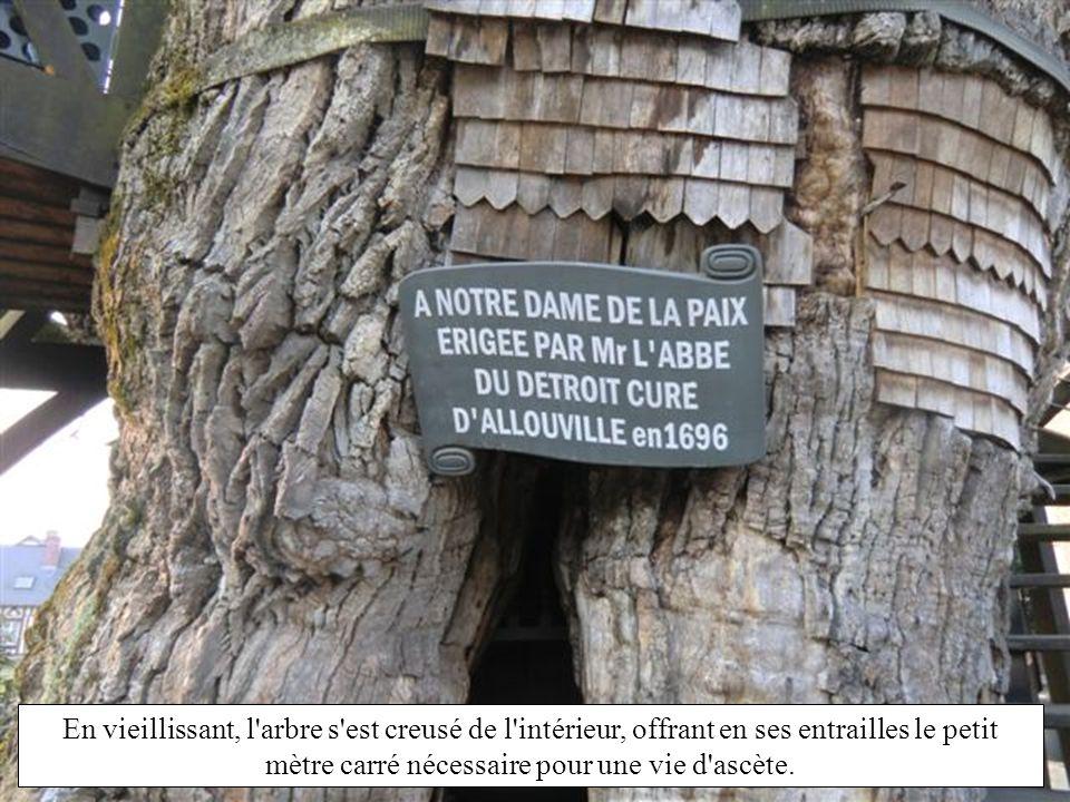 Le chêne d'Allouville est situé au centre du village d'Allouville-Bellefosse. Son âge exact n'est pas connu ; estimé au XIX e siècle âgé de 800 ans, u