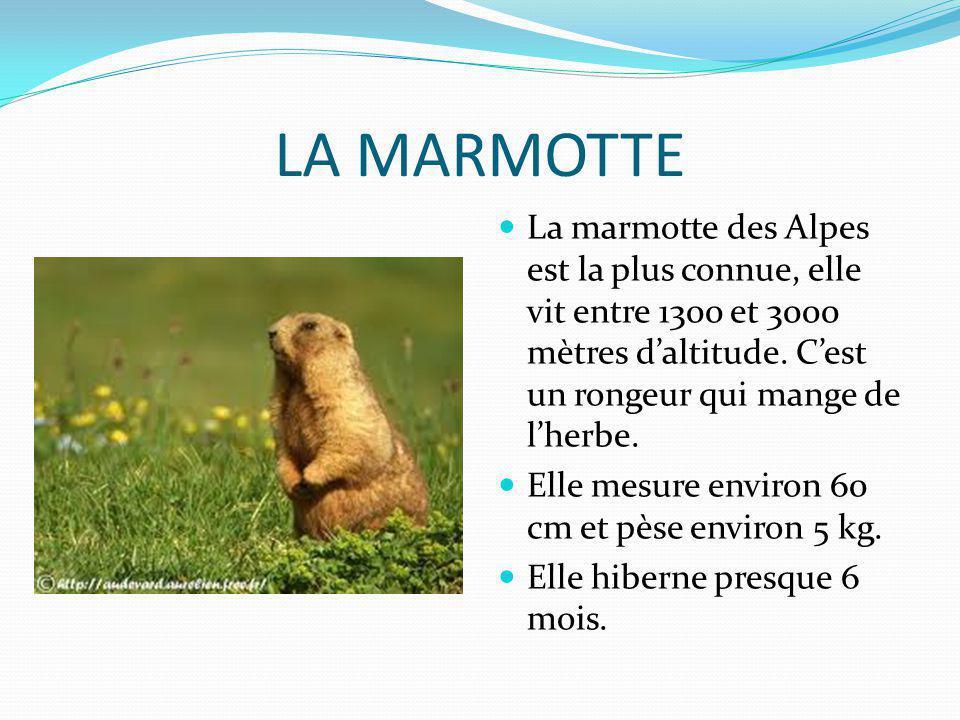 LA MARMOTTE La marmotte des Alpes est la plus connue, elle vit entre 1300 et 3000 mètres daltitude. Cest un rongeur qui mange de lherbe. Elle mesure e