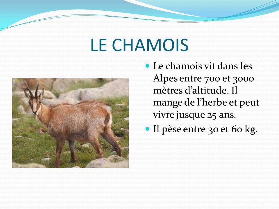 LE CHAMOIS Le chamois vit dans les Alpes entre 700 et 3000 mètres daltitude. Il mange de lherbe et peut vivre jusque 25 ans. Il pèse entre 30 et 60 kg