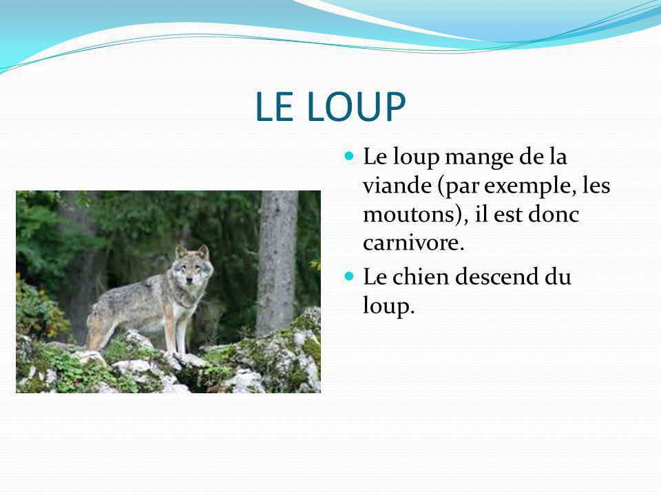 LE LOUP Le loup mange de la viande (par exemple, les moutons), il est donc carnivore. Le chien descend du loup.
