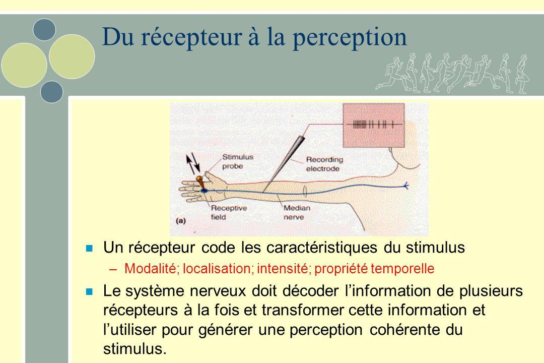 n Un récepteur code les caractéristiques du stimulus –Modalité; localisation; intensité; propriété temporelle n Le système nerveux doit décoder linformation de plusieurs récepteurs à la fois et transformer cette information et lutiliser pour générer une perception cohérente du stimulus.
