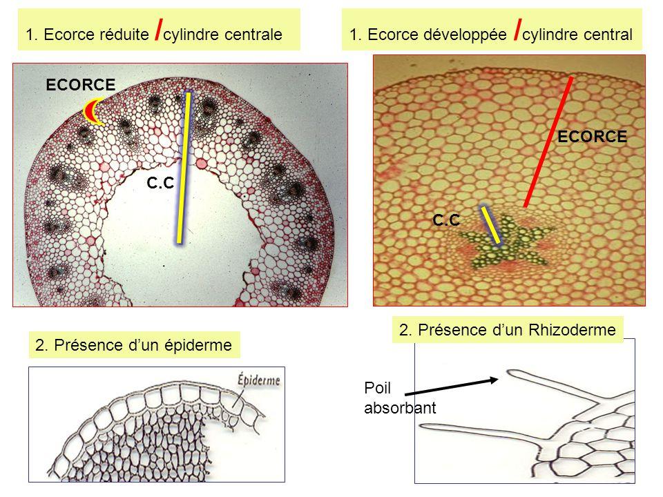 1. Ecorce réduite / cylindre centrale1. Ecorce développée / cylindre central 2. Présence dun épiderme 2. Présence dun Rhizoderme Poil absorbant ECORCE