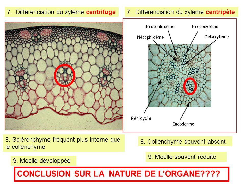 7. Différenciation du xylème centrifuge7. Différenciation du xylème centripète 8. Sclérenchyme fréquent plus interne que le collenchyme 8. Collenchyme