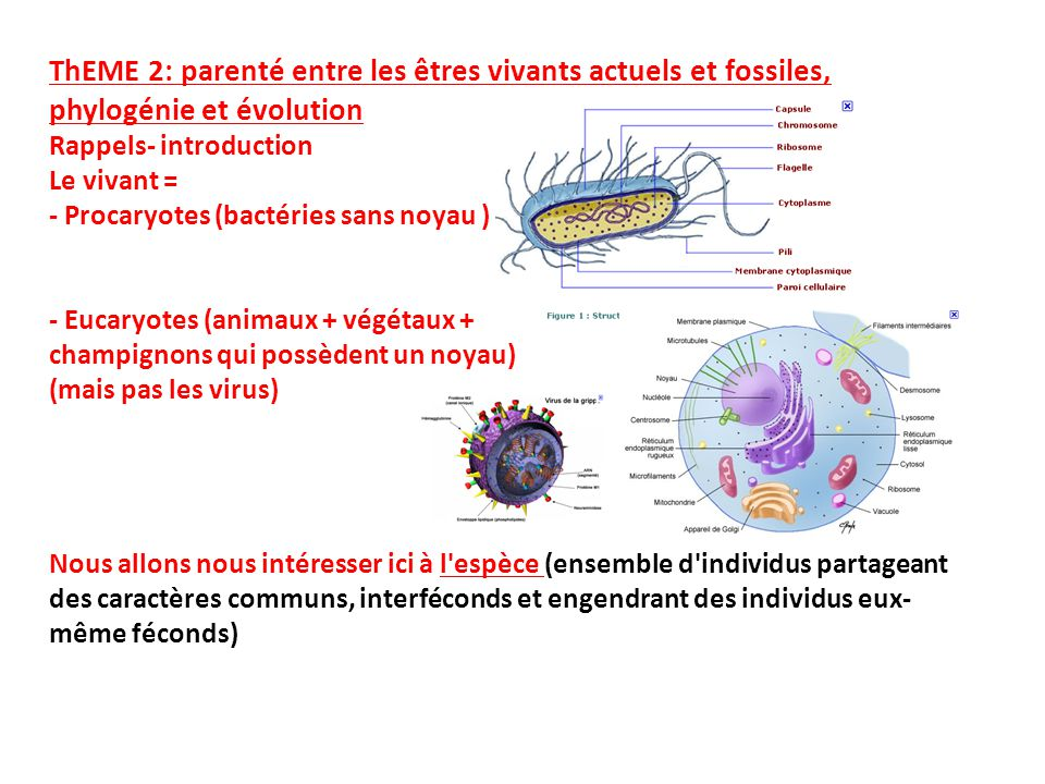 ThEME 2: parenté entre les êtres vivants actuels et fossiles, phylogénie et évolution Rappels- introduction Le vivant = - Procaryotes (bactéries sans