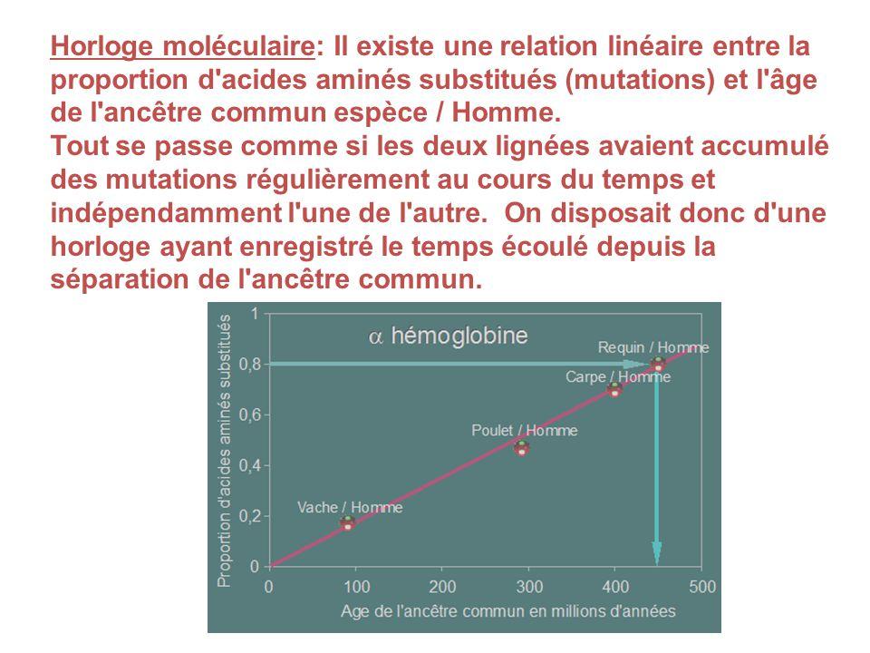 Horloge moléculaire: Il existe une relation linéaire entre la proportion d'acides aminés substitués (mutations) et l'âge de l'ancêtre commun espèce /