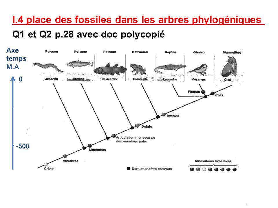 I.4 place des fossiles dans les arbres phylogéniques Q1 et Q2 p.28 avec doc polycopié Axe temps M.A 0 -500
