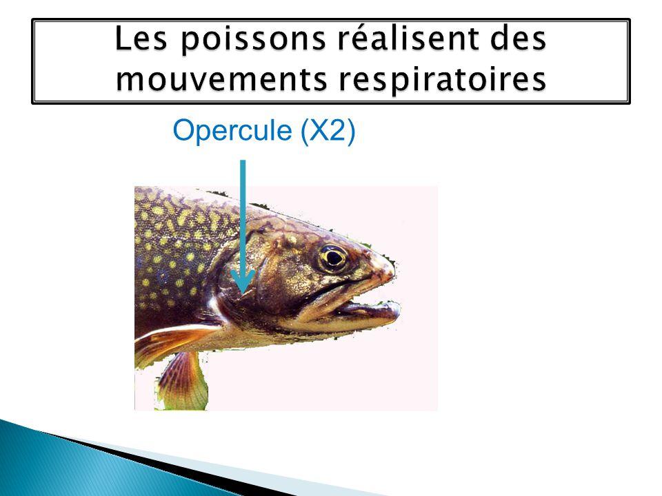 Objectif : découvrir les mouvements respiratoires des poissons Illustration 1 : Bouche ouverte Opercules fermé Mouvement dentrée deau Opercule ouvert ou fermé .