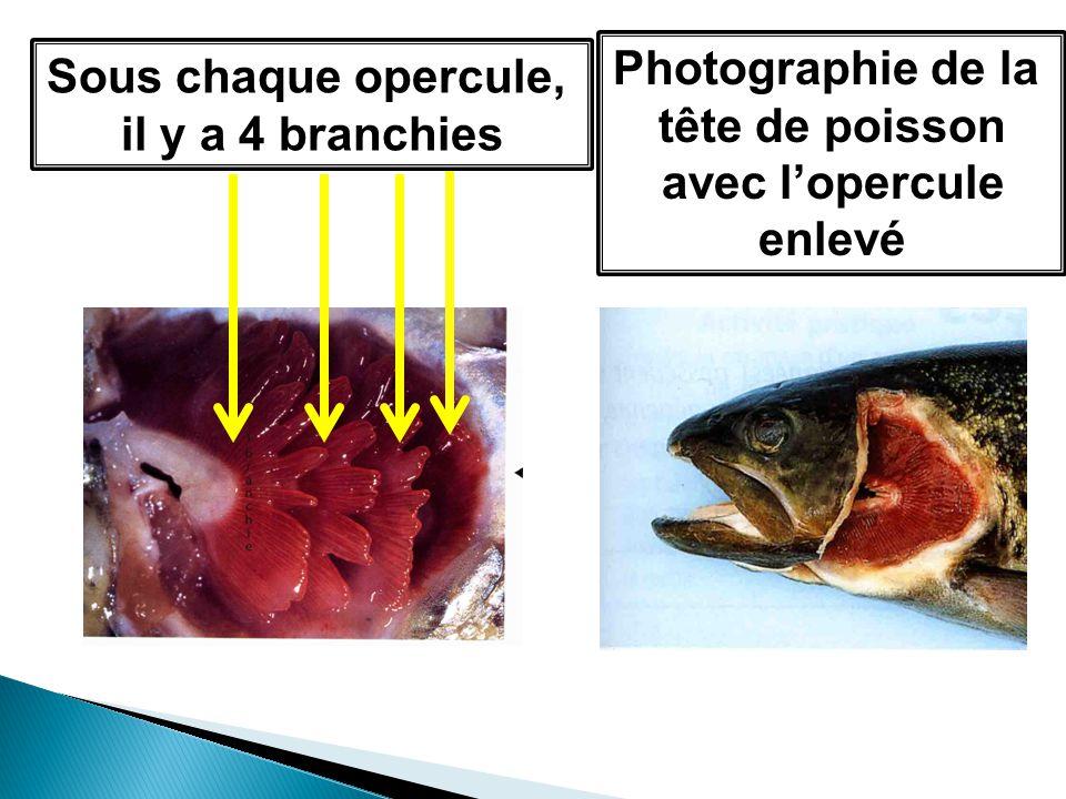 Sous chaque opercule, il y a 4 branchies Photographie de la tête de poisson avec lopercule enlevé
