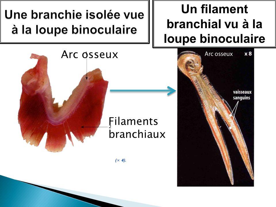 Arc osseux Filaments branchiaux Un filament branchial vu à la loupe binoculaire
