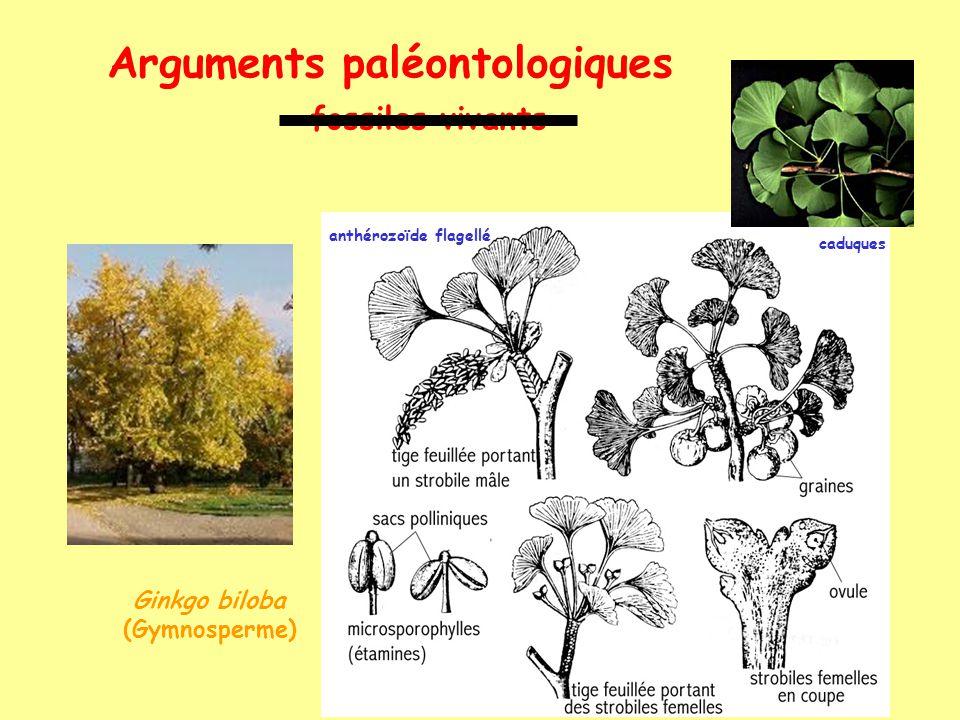 Arguments paléontologiques fossiles vivants anthérozoïde flagellé Cycas sp. (Gymnosperme)