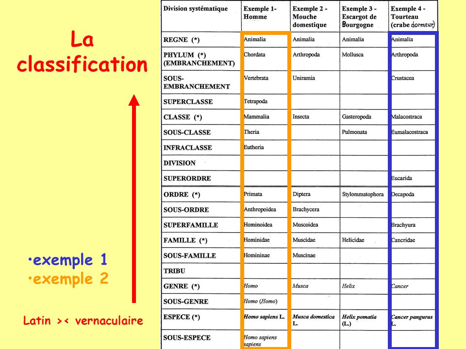 La classification exemple 1 exemple 2 Latin >< vernaculaire