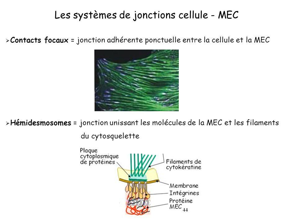 Les systèmes de jonctions cellule - MEC Contacts focaux = jonction adhérente ponctuelle entre la cellule et la MEC Hémidesmosomes = jonction unissant