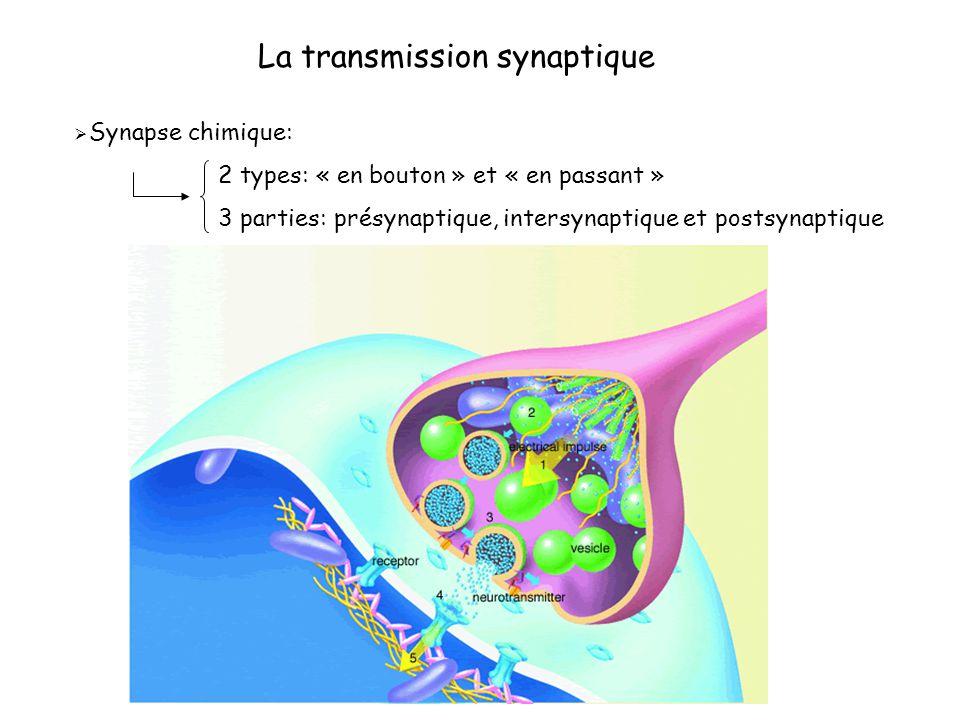 La transmission synaptique Synapse chimique: 2 types: « en bouton » et « en passant » 3 parties: présynaptique, intersynaptique et postsynaptique