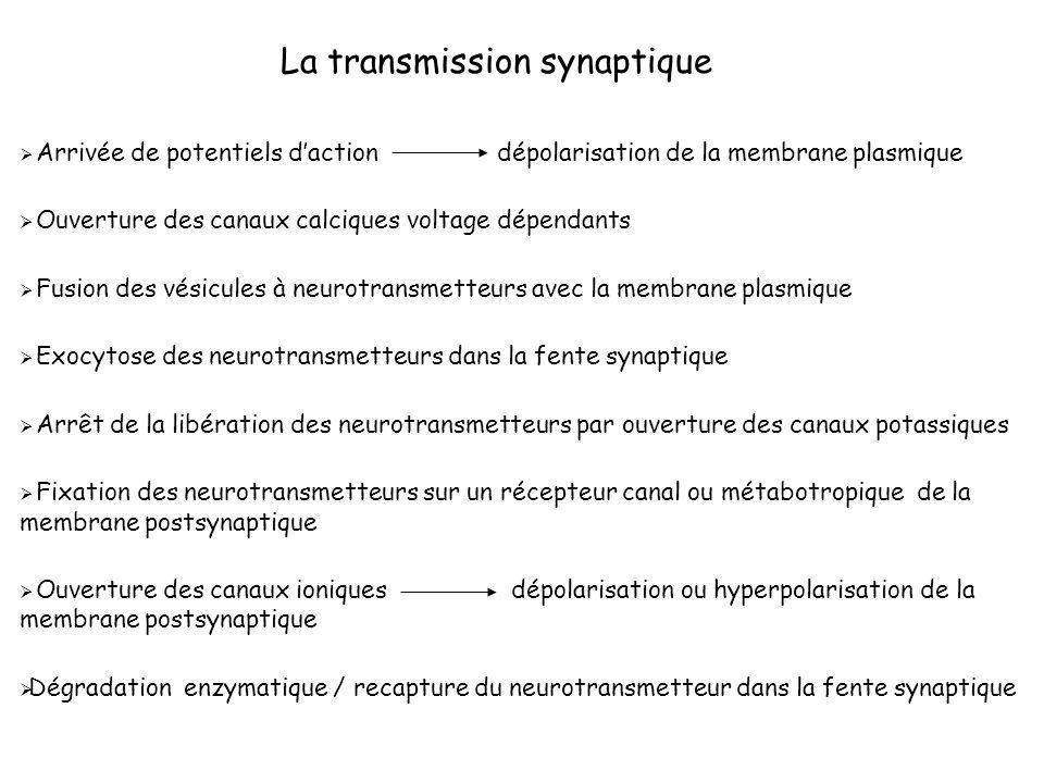 La transmission synaptique Arrivée de potentiels daction dépolarisation de la membrane plasmique Ouverture des canaux calciques voltage dépendants Fus