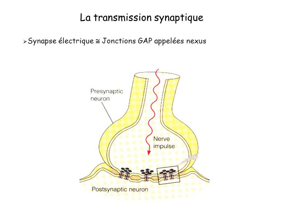 La transmission synaptique Synapse électrique Jonctions GAP appelées nexus