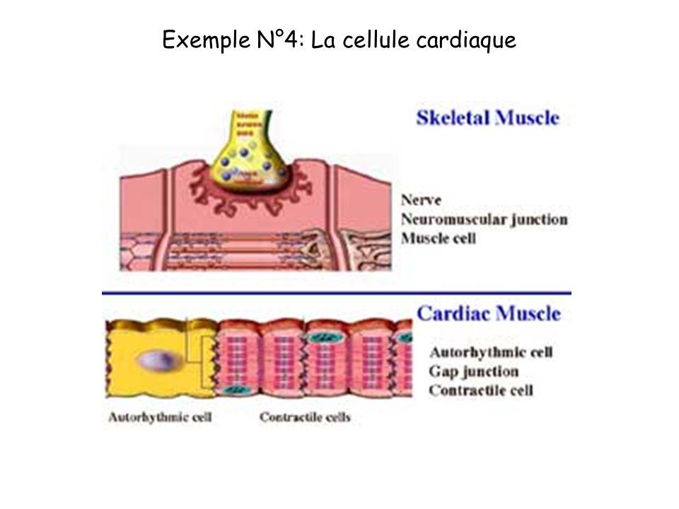 Exemple N°4: La cellule cardiaque