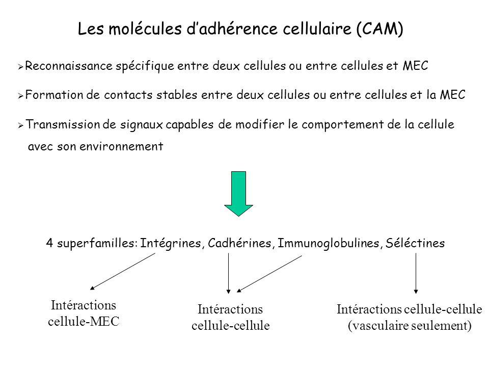 Les molécules dadhérence cellulaire (CAM) Reconnaissance spécifique entre deux cellules ou entre cellules et MEC Formation de contacts stables entre d